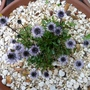 2.6.12_edited_p1030638_globularia_cordifolia
