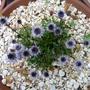 2.6.12_edited_p1030638_globularia_cordifolia