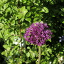 Allium 31 May 12