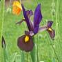 Iris among the poppies