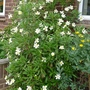 Carpenteria californica - 2012 (Carpenteria californica)