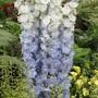 Chelsea Flower Show 2012 - Blue Delphinium