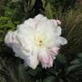Chelsea Flower Show 2012 - Peony
