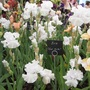 Chelsea Flower Show 2012 - Iris 'Got Milk'
