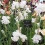 Chelsea Flower Show 2012 - Iris 'Got Milk'