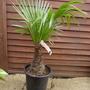 My best buy today (Trachycarpus fortunei (Chusan palm))