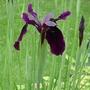 Iris chrysographes - 2012 (Iris chrysographes)