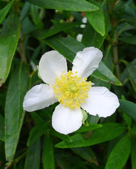 Carpenteria californica (close-up) - 2012 (Carpenteria californica)