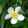 Carpenteria californica (close-up) - 2012 (Carpenteria californica)