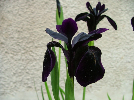 Iris chrysographs (Iris chrysographs)
