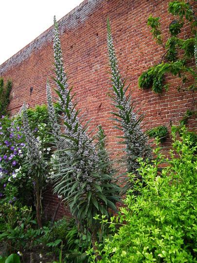 Echium pininana alba snow tower (Echium pininana alba Snow tower)