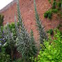 Echium pininana alba snow tower (Echium pininana alba Snow tower)
