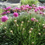 Thrift on my rockery