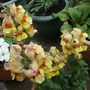 Antirrhinum_snapdragon_antirodora_yellow_