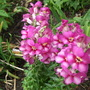 Antirrhinum_snapdragon_antirodora_light_pin_