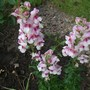 Antirrhinum (Snapdragon) 'Antirodora Purple/White' (Antirrhinum (Snapdragon) 'Antirodora Purple')