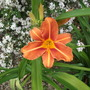 Hemerocallis Fulva flore pleno Tawny daylily (Hemerocallis Fulva flore pleno)