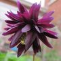 June aquilegia 2012