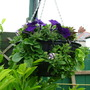 Hanging Basket,