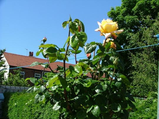Peace Standard Rose