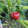 Red capsicum (Capsicum)