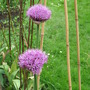 alliums opening up