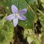 spreading campanula (Campanula patula (Spreading Bellflower))