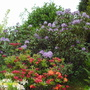 Two Azaleas and a Rhododendron