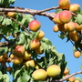 Native Apricot