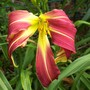 Daylily cross - Grey Witch X Spider Miracle