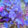Lobelia erinus dark blue