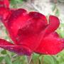 Shrub rose La Sevilliana