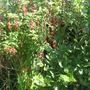 fushia bush