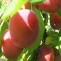 PLUMS-fresh and ready to eat