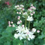 Filipendula hexapetala (Filipendula hexapetala)