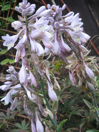 hosta blooms-almost over