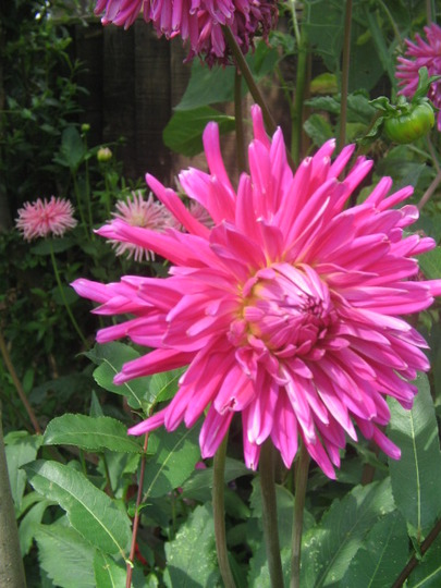 more cacti dahlias in pink