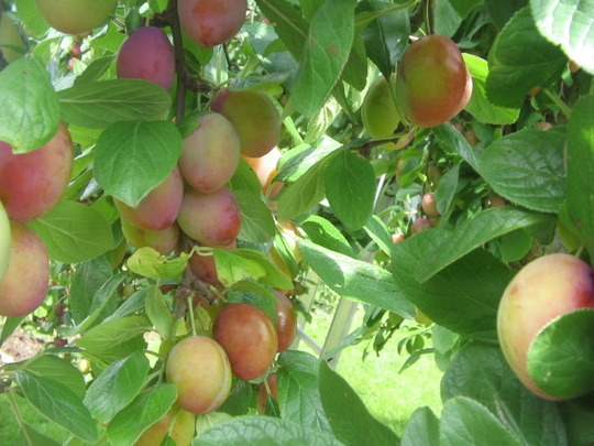 plums -almost ready