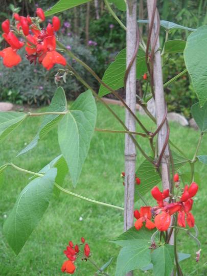 runner beans flower- ready to fruit