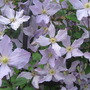 clematis climbing up in full
