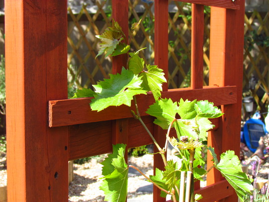 Grape Vine (Vitis vinifera (Grape vine))