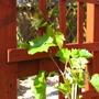 Grape Vine (Vitis vinifera (Grape vine))