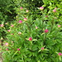 Peony double flowering Re Paeonia (Rubra Plena Peony) nearly out (Paeonia officinalis ( Rubra Plena Peony ))
