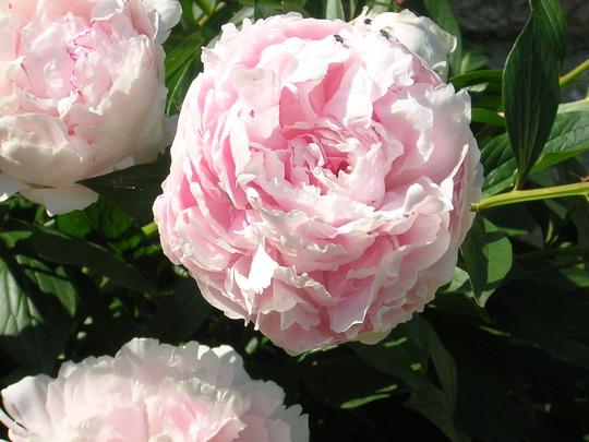 Paeony Sarah Bernhardt (Paeonia)