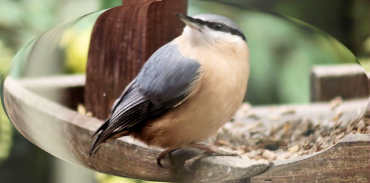 Nuthatch in Lens
