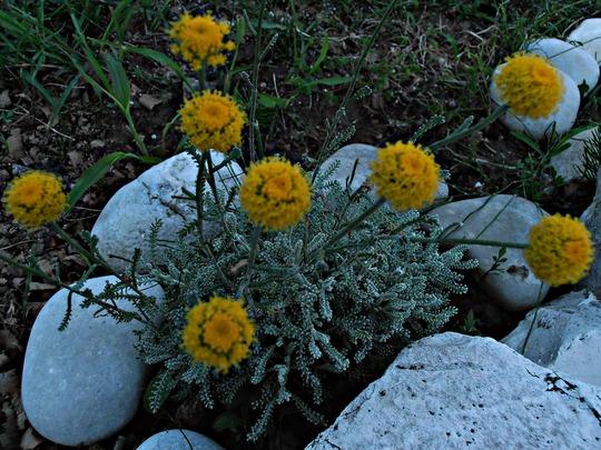 Lavender Cotton Santolina chamaecyparissus