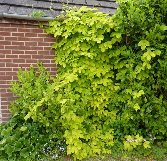Humulus lupulus 'Aurea' (Golden Hop)