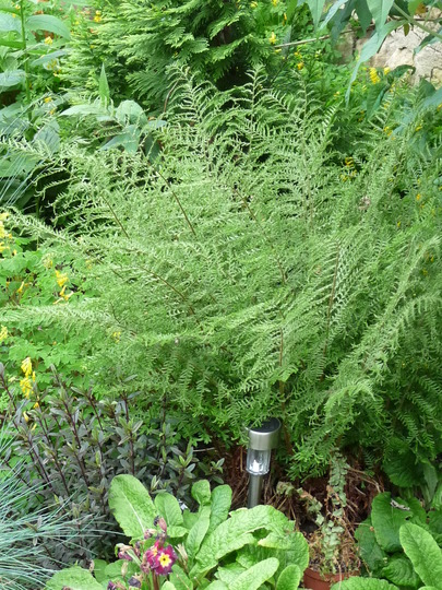My lovely Shield Fern (Dryopteris erythrosora (Japanese Shield Fern))
