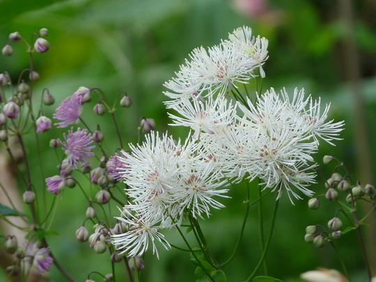Meadow rue (Thalictrum aquilegiifolium (Meadow Rue))