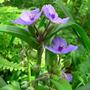 Spiderwort (Tradescantia virginiana (Spiderwort))